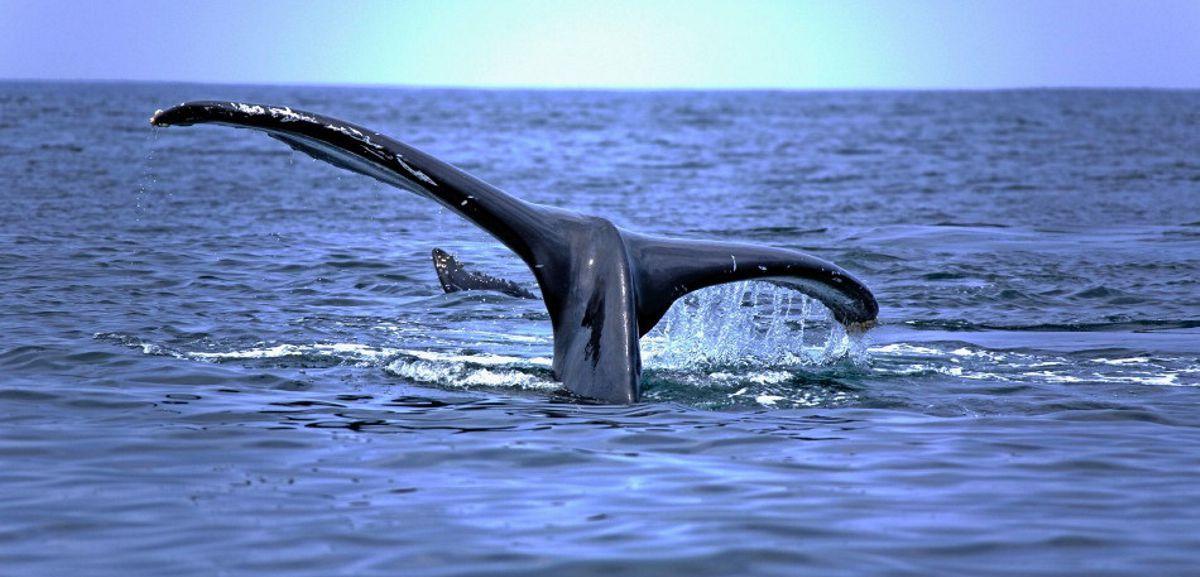 Baleine de Pongara