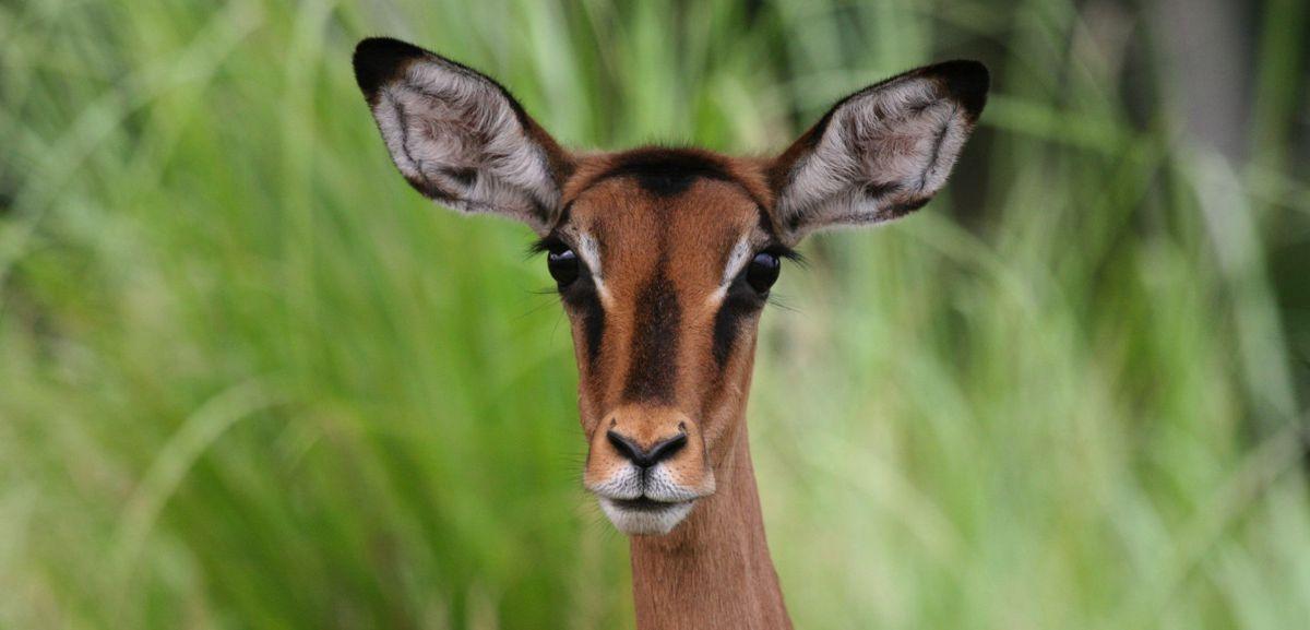 Impala de Pongara