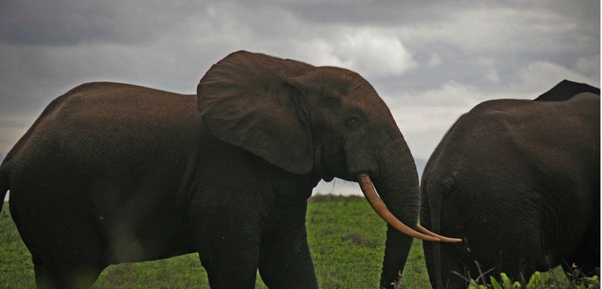 Elephant de Pongara